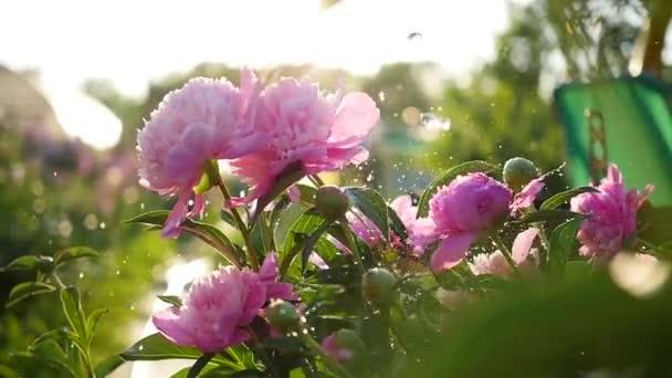 Déšť padá na krásné květy pivoňky. Letní slunce. Zahrada, příroda