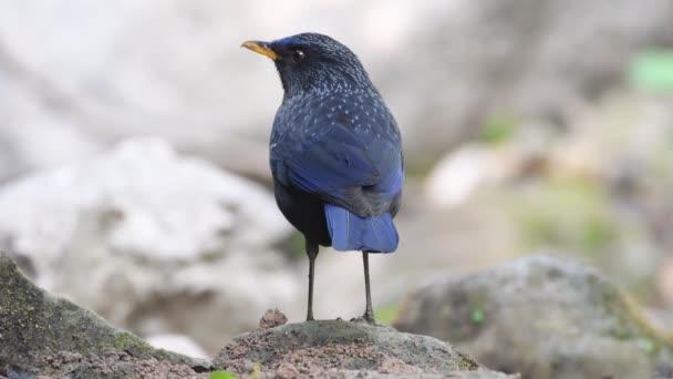 modré pískání drozd