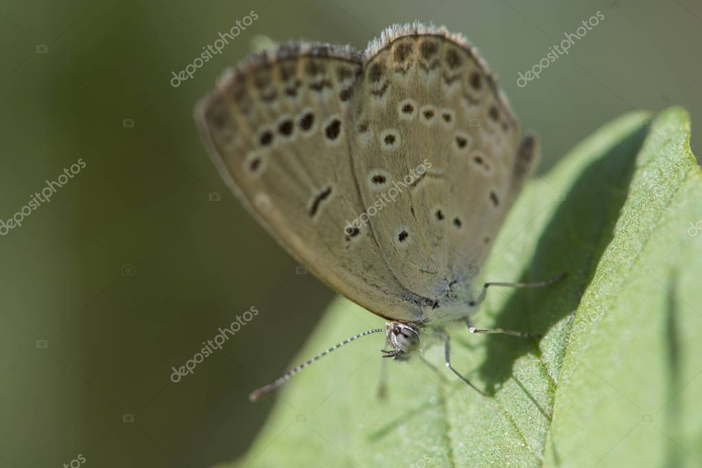 the pale grass blue,