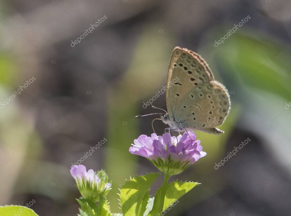 the pale grass blue