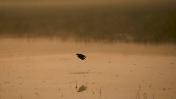 Gefleckter Rotschenkel fliegt über Feuchtgebiet