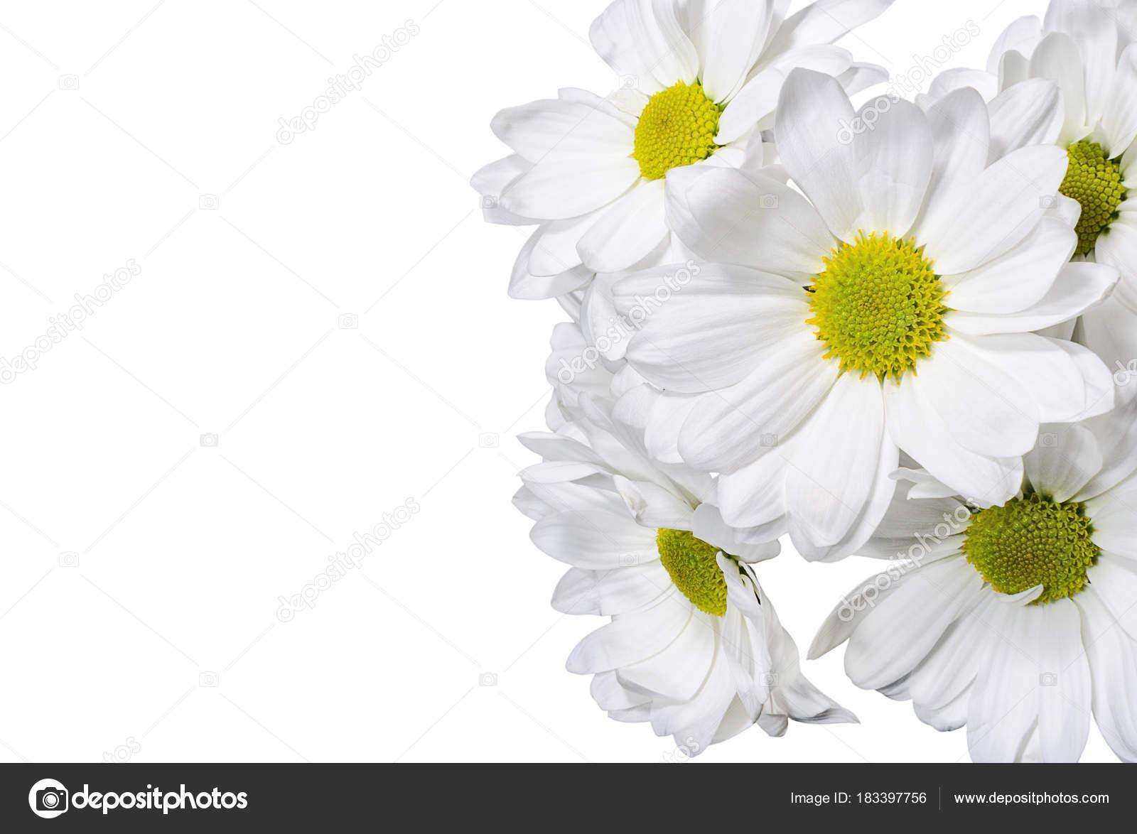 White Chrysanthemum Flowers White Background Stock Photo Looka
