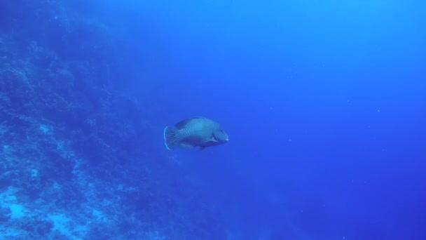 Fiatal Napoleonfish vagy Maori ajakoshal (Cheilinus undulatus) úszás kék víz, a Vörös-tenger, Sharm El Sheikh, Sínai-félsziget, Egyiptom