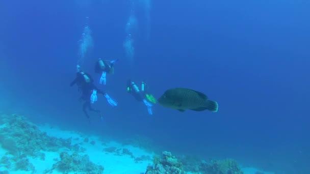 Fiatal Napoleonfish vagy Maori ajakoshal (Cheilinus undulatus) lebeg egy csoport, a búvárok, a Vörös-tenger, Sharm El Sheikh, Sínai-félsziget, Egyiptom