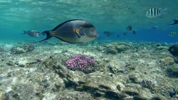 ck der tropischen fische schwimmen im flachen wasser in der n he von korallen und hellen rostige. Black Bedroom Furniture Sets. Home Design Ideas