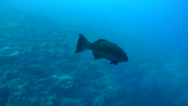 Coral Cod or Spotted coral grouper (Plectropomus maculatus) slowly swims near coral reef, Red sea, Sharm El Sheikh, Sinai Peninsula, Egypt