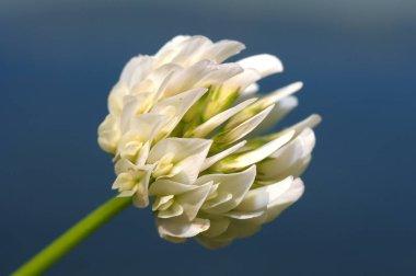 Trifolium alexandrinum, Egyptian clover, beerseem clover (Trifolium alpestre). Lake Baikal, Siberia, Russian Federation.