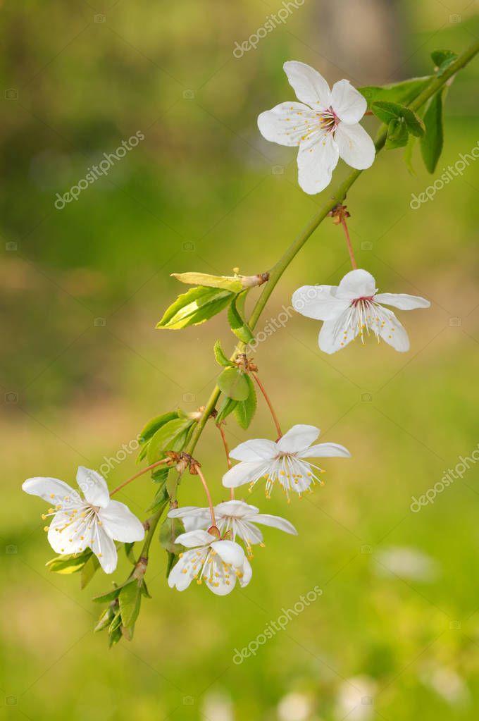 Blossoming Cherry Prunus avium, Ukraine