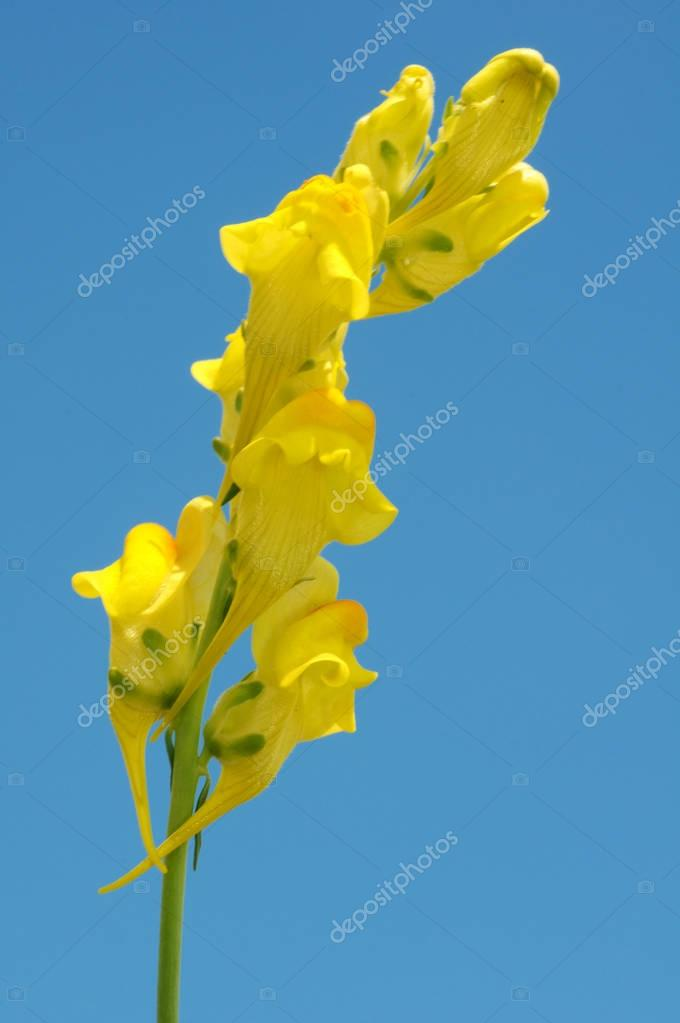 Common Toadflax (Linaria vulgaris Mill)