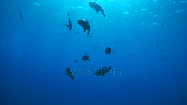 school of fish Black Snapper or black and white snapper shoal of fish - Macolor niger floating in blue water in the background surface