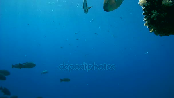 school of fish Black Snapper or black and white snapper shoal of fish - Macolor niger floating in blue water