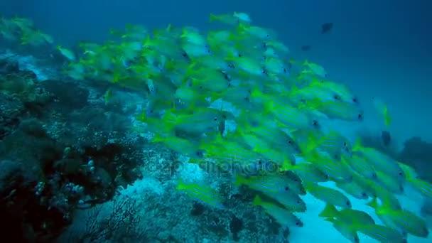 iskola, hal, Bluestripe sügér - Lutjanus kasmira úszik át a coral reef, Ausztrália és Óceánia, Indonézia, Délkelet-Ázsia