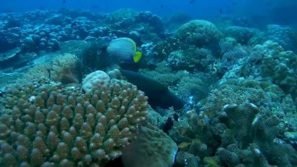 Young Napoleonfish o Humphead wrasse - Cheilinus undulatus alimentazione su una barriera corallina, Oceania, Indonesia, sud-est asiatico