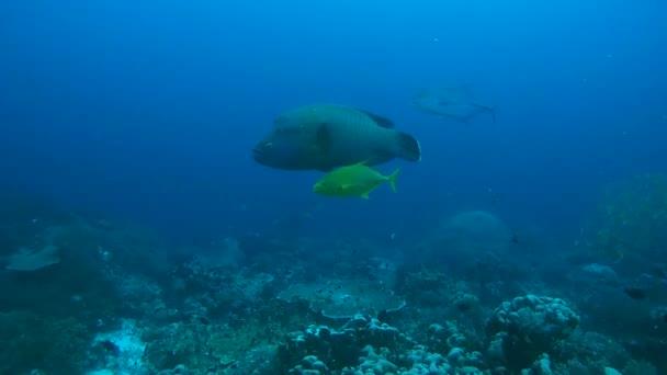 Fiatal Napoleonfish - Cheilinus undulatus, nagy - Caranx melampygus és Orangespotted Trevally - trevally Carangoides bajad úszni a kék víz, Indonézia, Ausztrália és Óceánia, Délkelet-Ázsia
