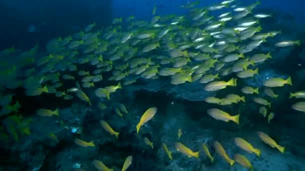 iskola, hal, Bluestripe sügér - Lutjanus kasmira úszik át coral reef, Ausztrália és Óceánia, Indonézia, Délkelet-Ázsia