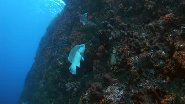 Young Napoleonfish o Humphead wrasse - Cheilinus undulatus alimentazione su una barriera corallina