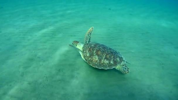 Zöld tengeri teknőc homokos partú felett