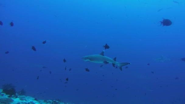 Weißspitzenriffhai (triaenodon obesus) im blauen Wasser, Indischer Ozean, Malediven