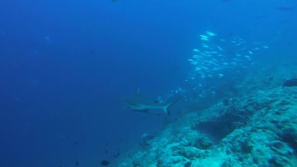 Gray reef shark (Carcharhinus amblyrhynchos) imperceptibly swims into a school of fish Caranx, Indian Ocean, Maldives