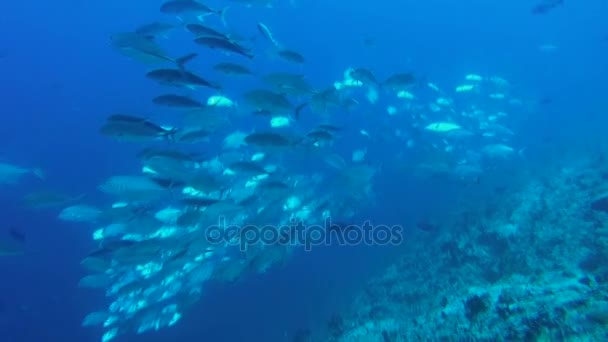 Gray reef shark (Carcharhinus amblyrhynchos) swims in school of fish Caranx, Indian Ocean, Maldives
