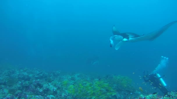 underwater cameraman shooting Giant oceanic manta ray (Manta birostris) swim in the blue water, Indian Ocean, Maldives