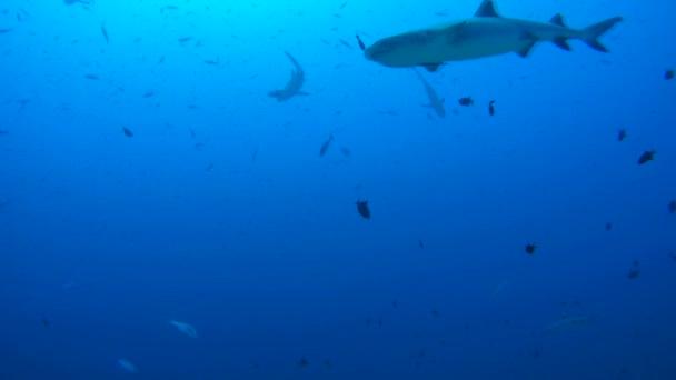 iskola a halak szürke szirtcápa (Carcharhinus amblyrhynchos) kék víz, az Indiai-óceánon, a Maldív-szigetek