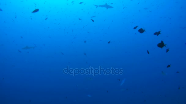 Schwarm von Fischgrauen Riffhaien (Carcharhinus amblyrhynchos) im blauen Wasser, Indischer Ozean, Malediven