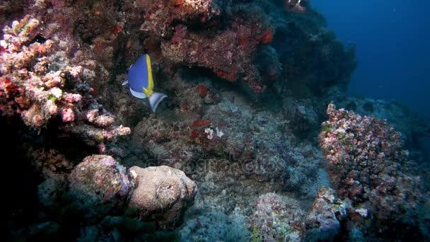 Puderblauer Tang - Akanthurus leucosternon zirkuliert in der Nähe eines Korallenriffs, Indischer Ozean, Malediven