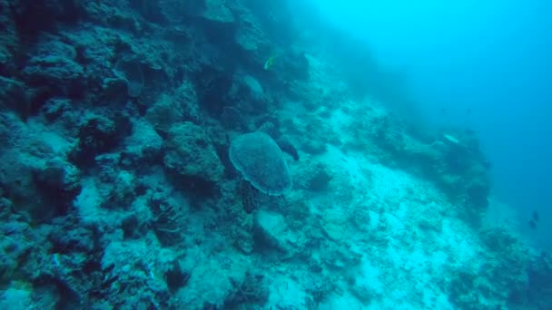 Hawksbill sea turtle (Eretmochelys imbricata) floats next to a coral reef, Indian Ocean, Maldives