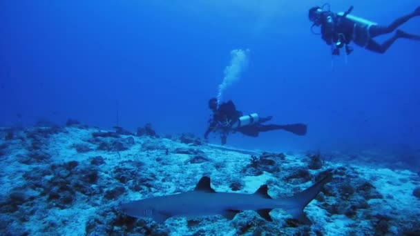 INDIAN OCEAN, MALDIVES - MARCH 2017: A group of scuba divers watching a whitetip reef shark (Triaenodon obesus)