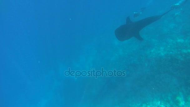 Bálna cápa (Rhincodon typus) lebeg a kék víz, kíséri búvárok,