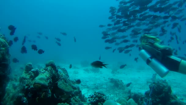 Young scubabird woman swims in school of fish Yellowfin Surgeonfish (Acanthurus xanthopterus),