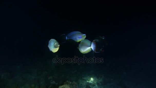 Mladá žena scuba diver další prodloužené unicornfish (Naso lopezi) v noční potápění