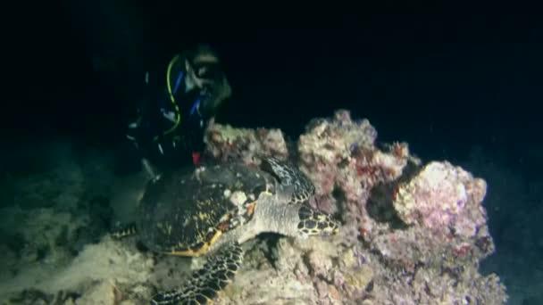 Hawksbill sea turtle (Eretmochelys imbricata) hunt at night,