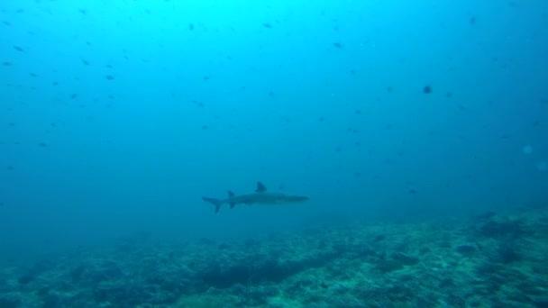 Weißspitzenriffhai (triaenodon obesus) im blauen Wasser