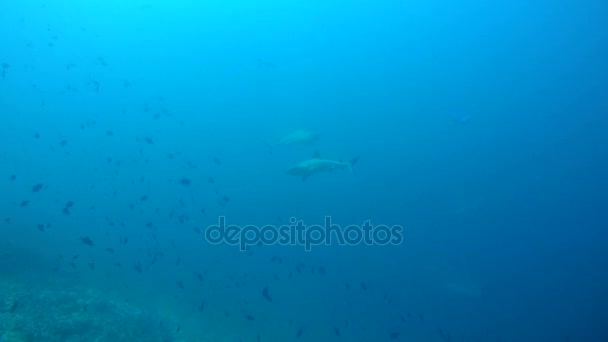 Two grey reef shark (Carcharhinus amblyrhynchos) In blue water