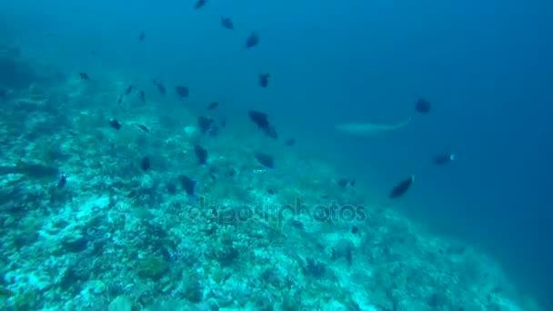 Fehéruszonyú szirtcápa (Triaenodon obesus) kék víz fölött korallzátony