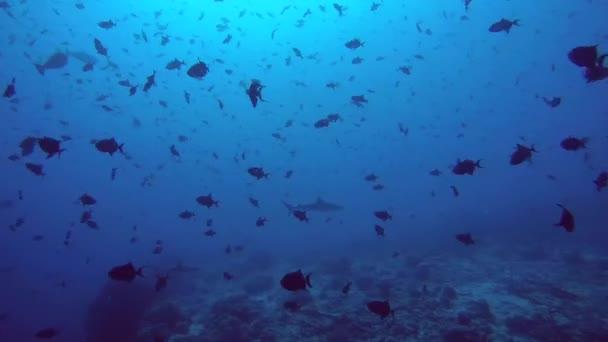 Graue Riffhaie (Carcharhinus Amblyrhynchos) Haie und Schule der Fische rot-toothed Drückerfisch (Odonus Niger) im blauen Wasser