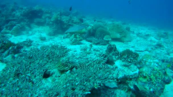 Hawksbill sea turtle (Eretmochelys imbricata) eats coral