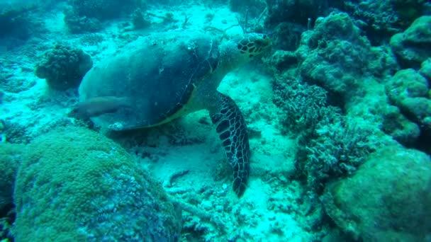 Hawksbill sea turtle (Eretmochelys imbricata) on the coral reef