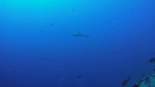 iskola a halak szürke szirtcápa (Carcharhinus amblyrhynchos) kék vízben