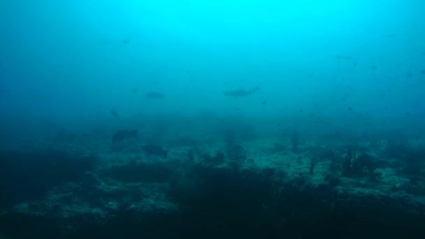 Grey reef shark (Carcharhinus amblyrhynchos) In blue water