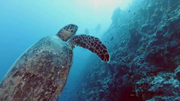 Hawksbill sea turtle, Eretmochelys imbricata swim near coral reef - Indian Ocean, Maldives