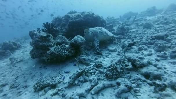 Hawksbill sea turtle, Eretmochelys imbricata near coral reef - Indian Ocean, Maldives