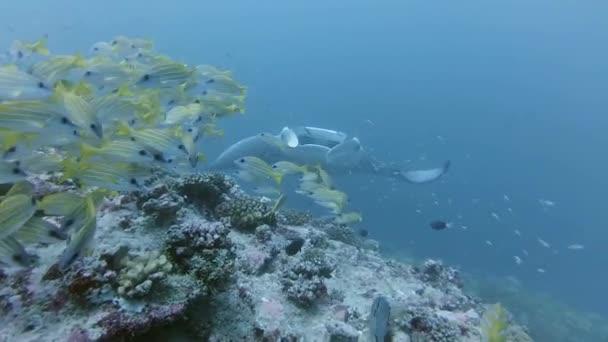 Riff Mantarochen - Manta alfredi taucht hinter einem Schwarm blaureifer Fische auf - Lutjanus kasmira, Indischer Ozean, Malediven