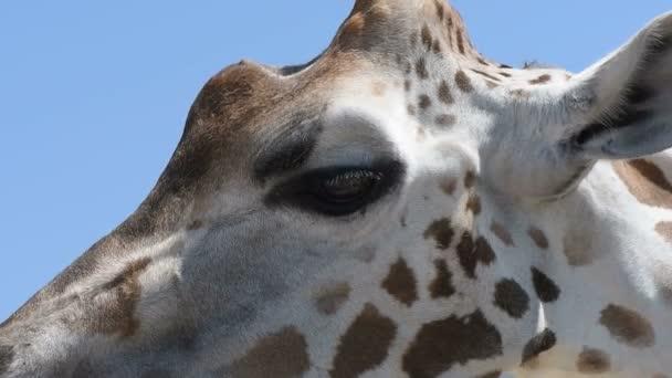 Északi zsiráf (Giraffa camelopardalis) a kék ég háttér portréja