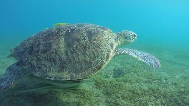 Zöld tengeri teknős két remora hal úszni felett homokos partú