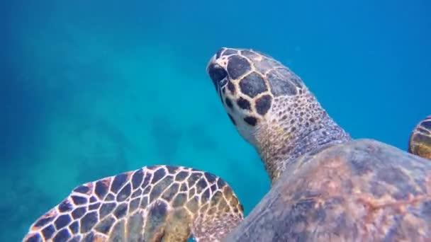 Tengeri teknősök úszni közelében korallzátony