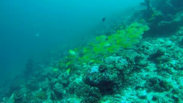 škola Bluestripe Snapper - Lutjanus kasmira plave nad korálový útes