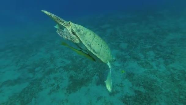 Leucism - velké mužské zelené mořské želvy (Chelonia mydas) s Remora ryb (Echeneis naucrates) a Golden Trevally (Gnathanodon speciosus) dýchat v povrchu vody a ponory na dno, Rudé moře, Marsa Alam, Abu Dabab, Egypt